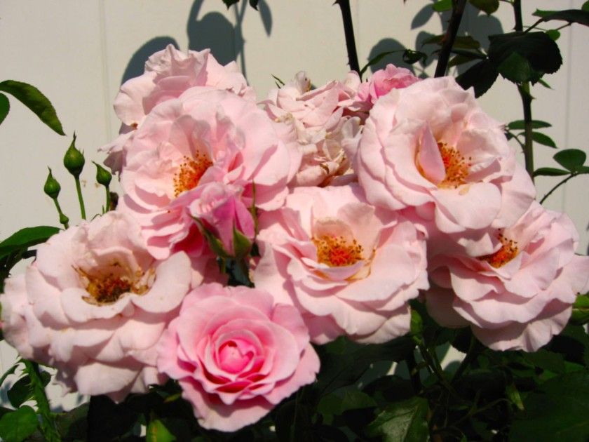 moms pink rose plant 2006